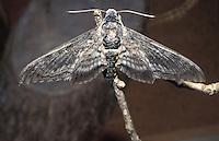 Endangered native Aiea hawk moth (Manduca blackburni), originally found on all islands †