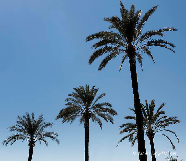 Palm trees, Passeig Maritimo, Palma, Mallorca. Most of the palm trees used for landscaping or townscaping on the island of Mallorca are from species imported over many years, The only native Mallorcan palm is said to be Chamaerops humilis or Palmito.