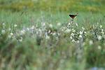 Black Redstart (Phoenicurus ochruros) male, Pikertyk, Tien Shan Mountains, eastern Kyrgyzstan