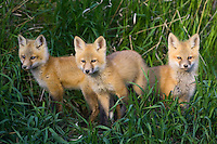 A trio of fox kits standing on a hill amongst some tall grass