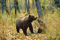 Coastal brown bear and cub on a path in the forest of Katmai National Park, Alaska, autumn.