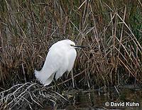 0202-08ss  Snowy Egret,  Egretta thula © David Kuhn/Dwight Kuhn Photography
