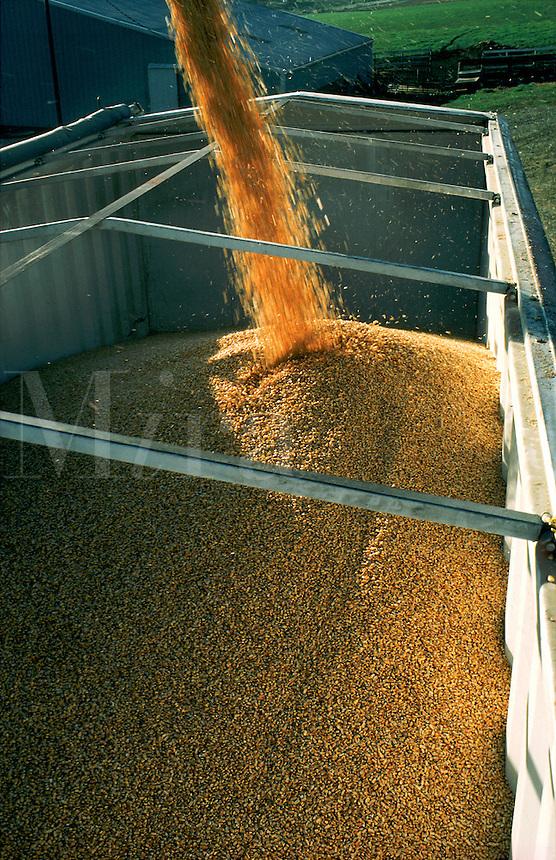 Grains of corn pour into a truck.