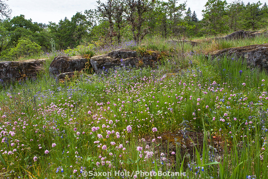 Nature designs a garden - rock ledge, stone outcrop with wildflower meadow; Camassia Nature Preserve, The Nature Conservancy protected park, Portland Oregon