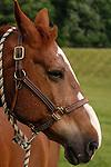 A horse at Springdale farm, eastern Pennsylvania