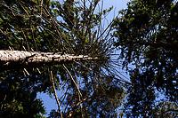 GERMANY, Plau, forest / DEUTSCHLAND, Plau, Wald, kranke Tannen mit Borkenkäfer Befall