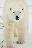 Adult Polar Bear walks towards us and appears to have a round face