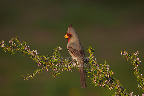 Pyrrhuloxia (Cardinalis sinuatus), male perched on blossoming shrub, Starr County, Rio Grande Valley, South Texas, USA