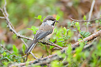Grey-headed Chickadee (Poecile cinctus) with food on branch (decline of species due to climate warming), Lapland, Finland, Europe