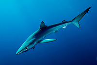 Blue shark, Prionace glauca, Channel Islands, California, Eastern Pacific Ocean