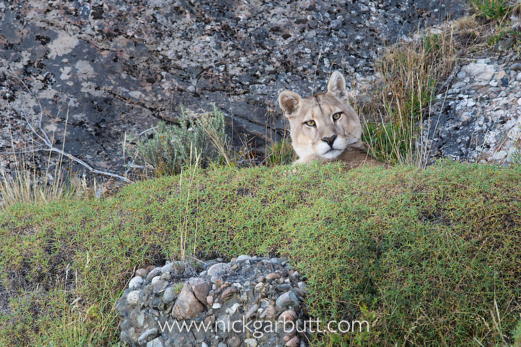 Patagonian Puma (Puma concolor patagonica)(male) resting amongst boulders. Torres del Paine National Park, Chilean Patagonia, Chile. March