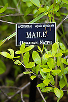 A small plaque designates the sacred Native Hawaiian maile plant, (apocynaceae; alyxia oliviformis) which forms vines of dark green leathery leaves. The vines are used to make maile leis to honor people for significant occasions. Photographed at Lim