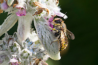 Garten-Wollbiene, Große Wollbiene, Gartenwollbiene, Europäische Wollbiene, Männchen an Woll-Ziest, Wollziest (Stachys byzantina), Anthidium manicatum, European wool carder bee, wool carder bee, Continental Wool-carder Bee, male, abeille cotonnière