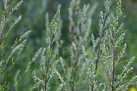 Beifuß, Blütenknospen, Gewöhnlicher Beifuß, Beifuss, Artemisia vulgaris, Mugwort, common wormwood, wild wormwood, wormwood. L'Armoise commune, L'Armoise citronnelle