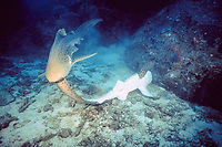 zebra ( leopard ) shark, Stegostoma fasciatum, courtship: male seizes female by tail and flips her over to mate, Thailand, Pacific Ocean