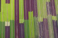 Salatfelder: EUROPA, DEUTSCHLAND, SCHLESWIG HOLSTEIN, STEMWARDE 23.08.2017: Salatfelder