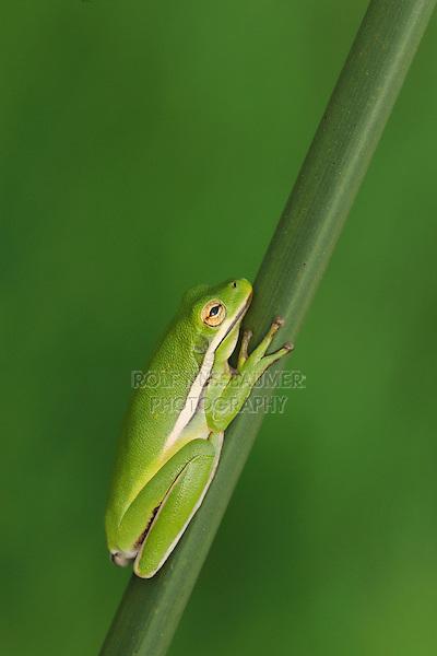 Green Treefrog (Hyla cinerea), adult sleeping on reed, Fennessey Ranch, Refugio, Coastal Bend, Texas Coast, USA