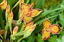 Iris 'Broadleigh Ann', a Pacific Coast iris from Broadleigh Gardens plant nursery.