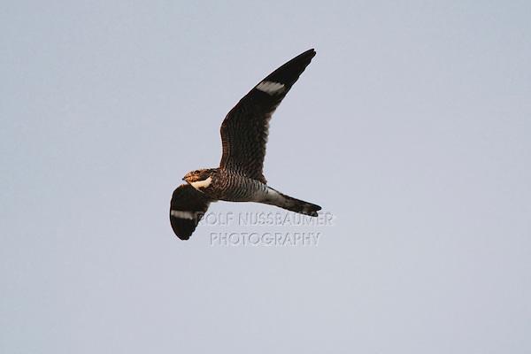 Common Nighthawk (Chordeiles minor), adult in flight, Sinton, Corpus Christi, Coastal Bend, Texas, USA