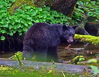 Black Bear AK