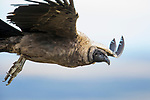 Andean Condor (Vultur gryphus) juvenile flying, Torres del Paine National Park, Patagonia, Chile