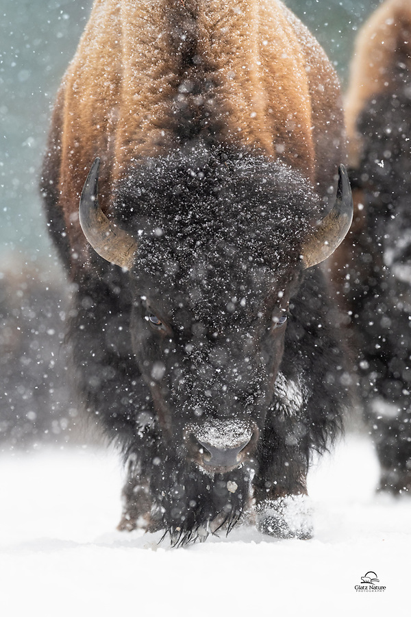Male Bison (Bison bison) endures the heavy snow in West Yellowstone. Supremely adapted to deal with these conditions, Bison have survived here for thousands of years. They are the largest terrestrial animals in North America.