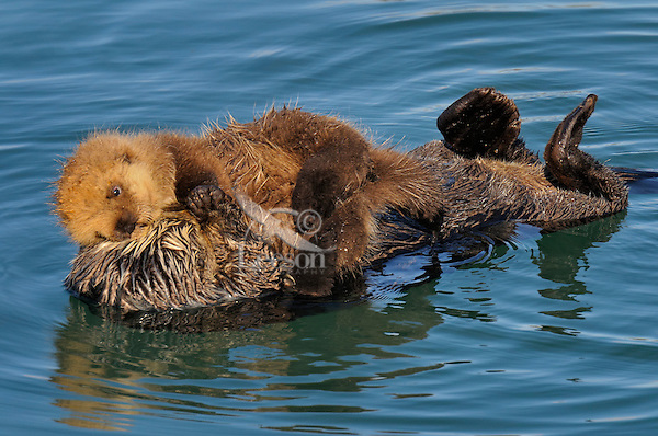 Alaskan or Northern Sea Otter (Enhydra lutris)--a tender moment between mom and her young pup.  Alaska.