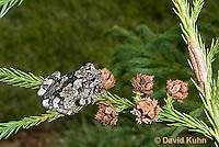 0806-0902  Eastern Gray Treefrog (Grey Tree Frog), Hyla versicolor  © David Kuhn/Dwight Kuhn Photography