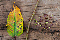 Balsampappel, Herbstlaub und Knospen, Balsam-Pappel, Pappel, Populus balsamifera, Populus tacamahaca, balsam poplar, bam, bamtree, eastern balsam-poplar, hackmatack, tacamahac poplar, bud, buds, tacamahaca, Le Peuplier baumier, Blatt, Blätter, leaf, leaves, Knospe, Pappelknospen, Pappelknospe, bud, buds, Herbstlaub, Herbstfärbung, Herbstverfärbung, Herbstfarben, autumn foliage, fall foliage, autumn colors, autumn colours