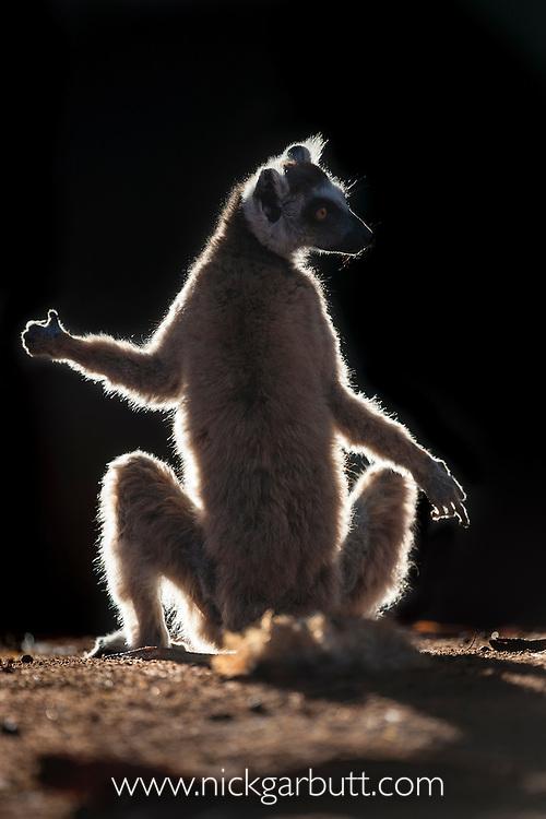 Ring-tailed Lemur (Lemur catta) sun basking at dawn. Berenty Private Reserve, southern Madagascar.