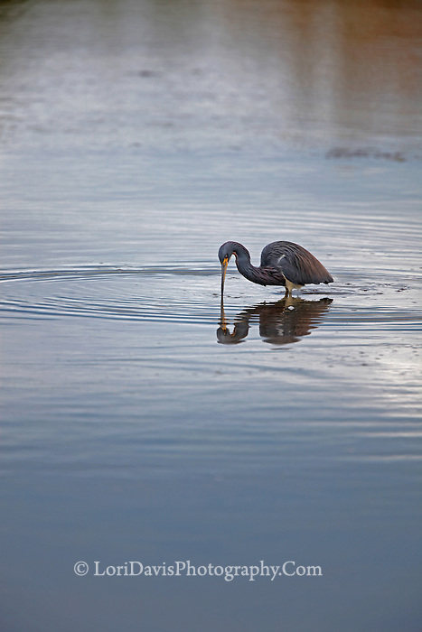 Fishing Little Blue Heron with Reflection  #H28
