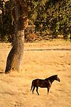 Grazing horses in a field, oaks