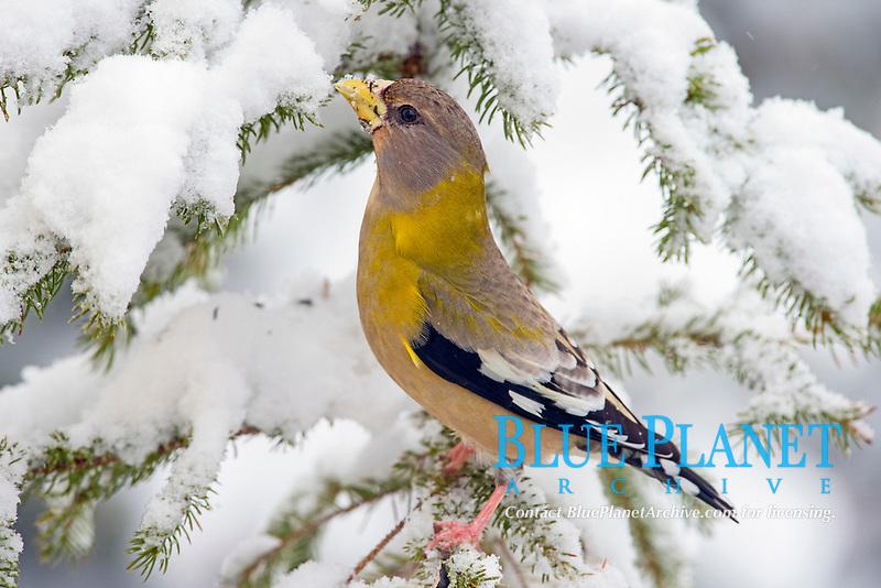 eveneing grosbeak, Coccothraustes vespertinus, songbird in a winter balsam fir with snow, Nova Scotia, Canada