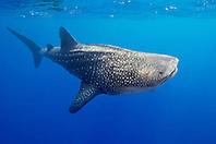 whale shark, Rhincodon typus, Kona Coast, Big Island, Hawaii, USA, Pacific Ocean