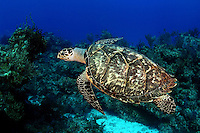The hawksbill turtle [Eretmochelys imbricata] has a more elongated neck compared to other species of sea turtles. Bahamas.