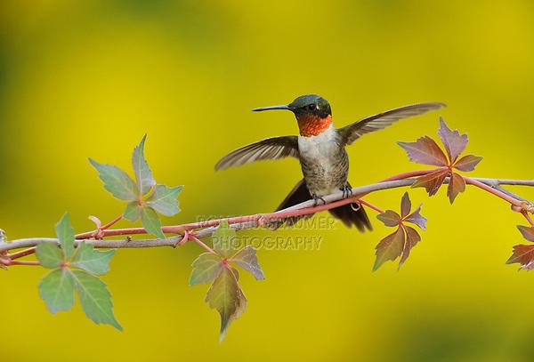 Ruby-throated Hummingbird (Archilochus colubris), male landing on Virginia creeper (Parthenocissus quinquefolia), Hill Country, Central Texas, USA