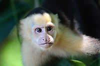 white-headed capuchin (Cebus capucinus), also known as the white-faced capuchin or white-throated capuchin