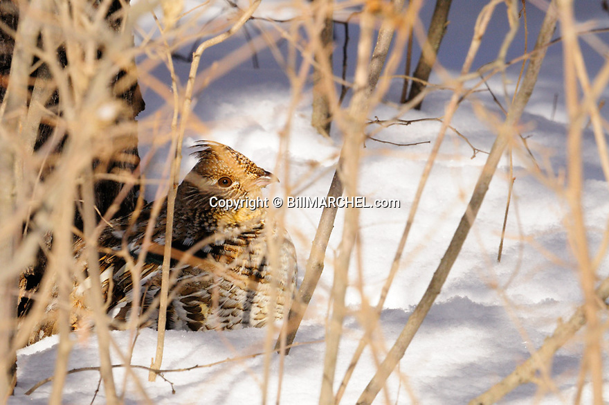 00515-071.20 Ruffed Grouse is in heavy cover of hazel during winter.  Hunt, food, snow, cold, feed, catkins, predator, prey.