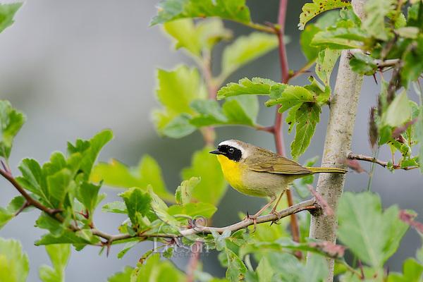 Common Yellowthroat male (Geothlypis trichas).  Western U.S., spring.