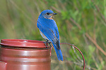 Male eastern bluebird perched on a decorative coffee pot