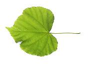 Winter-Linde, Linde, Winterlinde, Tilia cordata, Little Leaf Linden, Tilleul à petites feuilles. Blatt, Blätter, leaf, leaves, Blattunterseite