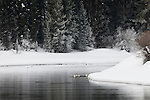 Trumpeter swans on the Snake River in Grand Teton National Park, Wyoming.