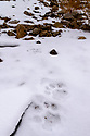 Foot prints (pug marks) of snow leopard (Panthera uncia)(formerly Uncia uncia) in snow on ridge line. Ladakh Ranges, Himalayas, Ladakh, India.