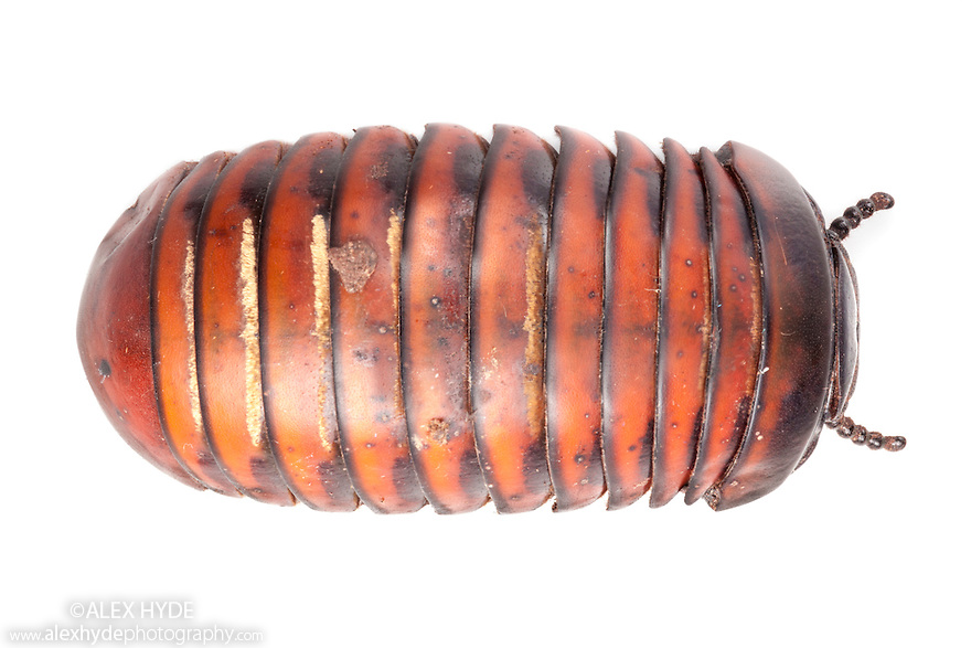 Pill Millipede {Glomeridae}, photographed on a white background in mobile field studio in tropical rainforest. Danum Valley, Sabah, Borneo, Malaysia.