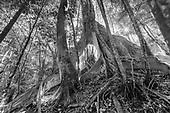 Banian étrangleur - Parc des grandes fougères