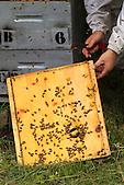 Christelle Appaganou (apicultrice à Bourail) retirant le couvre cadres de la ruche