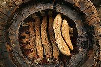 Une ruche-tronc des Cévennes dévoile le détail de la construction des rayons dans un cercle. Dans cette ruche déjà récoltée, la partie gauche des rayons gorgés de miel a été découpée à l'aide d'une lame courbe. La ruche en tronc évidé recouverte d'une lauze représentait un grand progrès par rapport à la ruche de paille car il était possible de prélever une partie du miel sans détruire la colonie. La relation entre l'homme et l'abeille était très forte dans nos campagnes. Un nombre important de familles françaises gardent encore en mémoire un aïeul apiculteur. Une association d'apiculteurs cévenols, l'ADSPAC, a mis en place un programme de conservation de l'abeille noire des Cévennes pour préserver les souches issues de ces ruches.