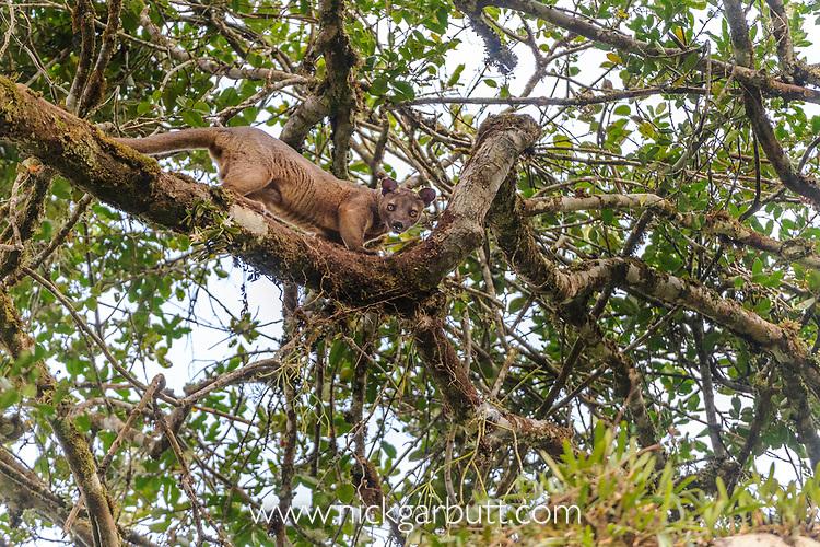 Male Fosa (Cryptoprocta ferox) (sometimes incorrectly Fossa) climbing favoured 'mating tree' where female is waiting in canopy. Mid-alitude rainforest, Andasibe-Mantadia National Park, eastern Madagascar. IUCN Endangered.