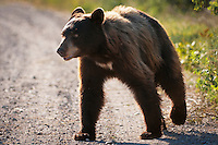 Young, wild black bear at the National Bison Range, Montana.
