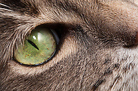 A closeup of the green eye of a blue patched tabby and white shorthair house cat.  The depth of field is a bit shallow, but a large portion of her eye and the fur around her eye are in focus.